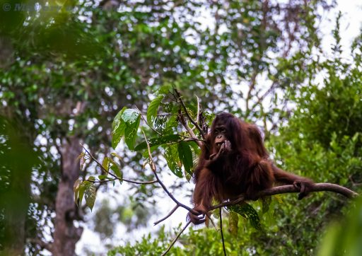 An adolescent orangutan at Camp Leakey on the Sekonyer River in Tanjung Puting National Park, Kalimantan in Borneo, Indonesia on Mallory on Travel adventure travel, photography, travel Iain Mallory_Indo-1-181