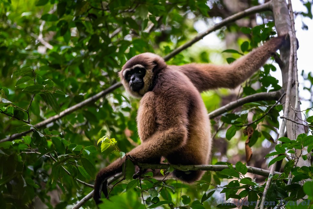 A gibbon among the orangutans of Camp Leakey in Tanjung Puting National Park in Kalimantan on the Indonesian island of Borneo on Mallory on Travel adventure travel, photography, travel Iain Mallory_Indo-1-221
