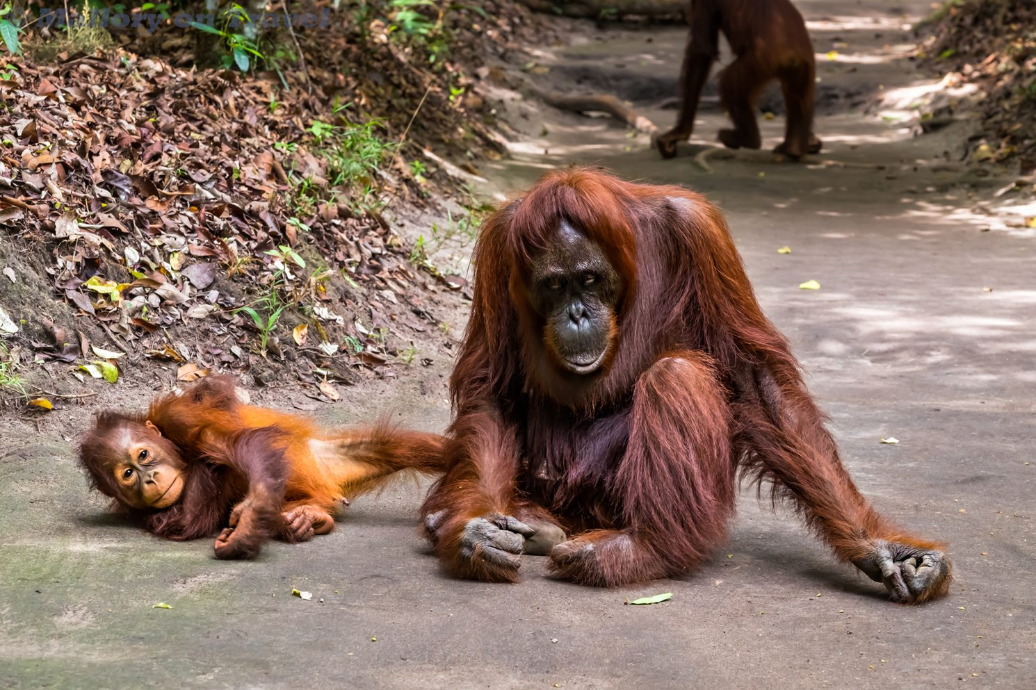 Orangutans at Camp Leakey in the Tanjung Puting National Park of Kalimantan on the Indonesian island of Borneo on Mallory on Travel adventure travel, photography, travel Iain Mallory_Indo-1-228