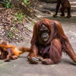 Planet of the Apes; Orangutans in Tanjung Puting
