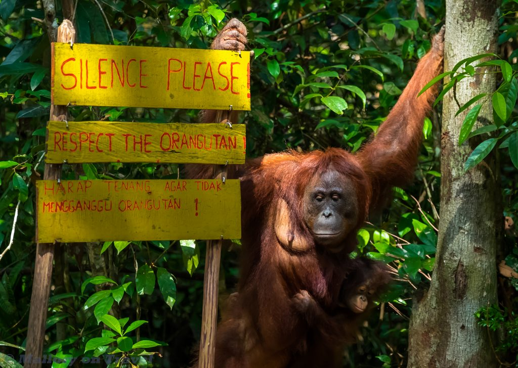 Orangutan in the Bornean jungle of Tanjung Puting in Kalimantan, Indonesia on Mallory on Travel adventure travel, photography, travel Iain Mallory_Indo-1-315