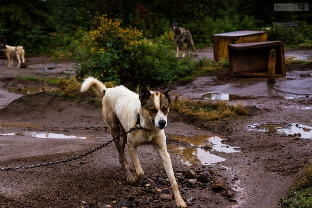 Sled dogs at Cathers Wilderness Adventures in the Yukon near Whitehorse on Mallory on Travel adventure travel, photography, travel iain-mallory_yukon-012
