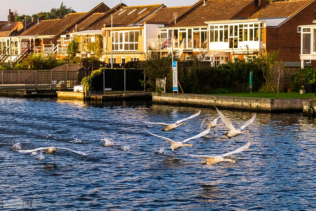 Swans taking flight in the Norfolk Broads National Park, East Anglia in England on Mallory on Travel adventure travel, photography, travel iain-mallory_norfolk-069