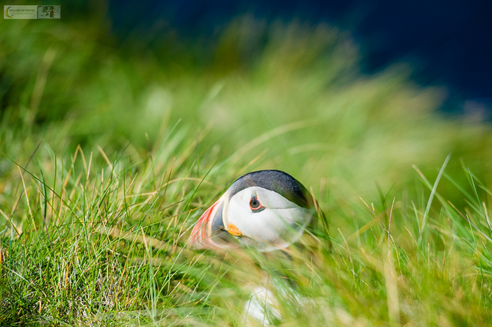 A puffin at Sumburgh Head on the Shetland Islands in the highlands and islands of Scotland on Mallory on Travel adventure travel, photography, travel iain-mallory_scotland8995