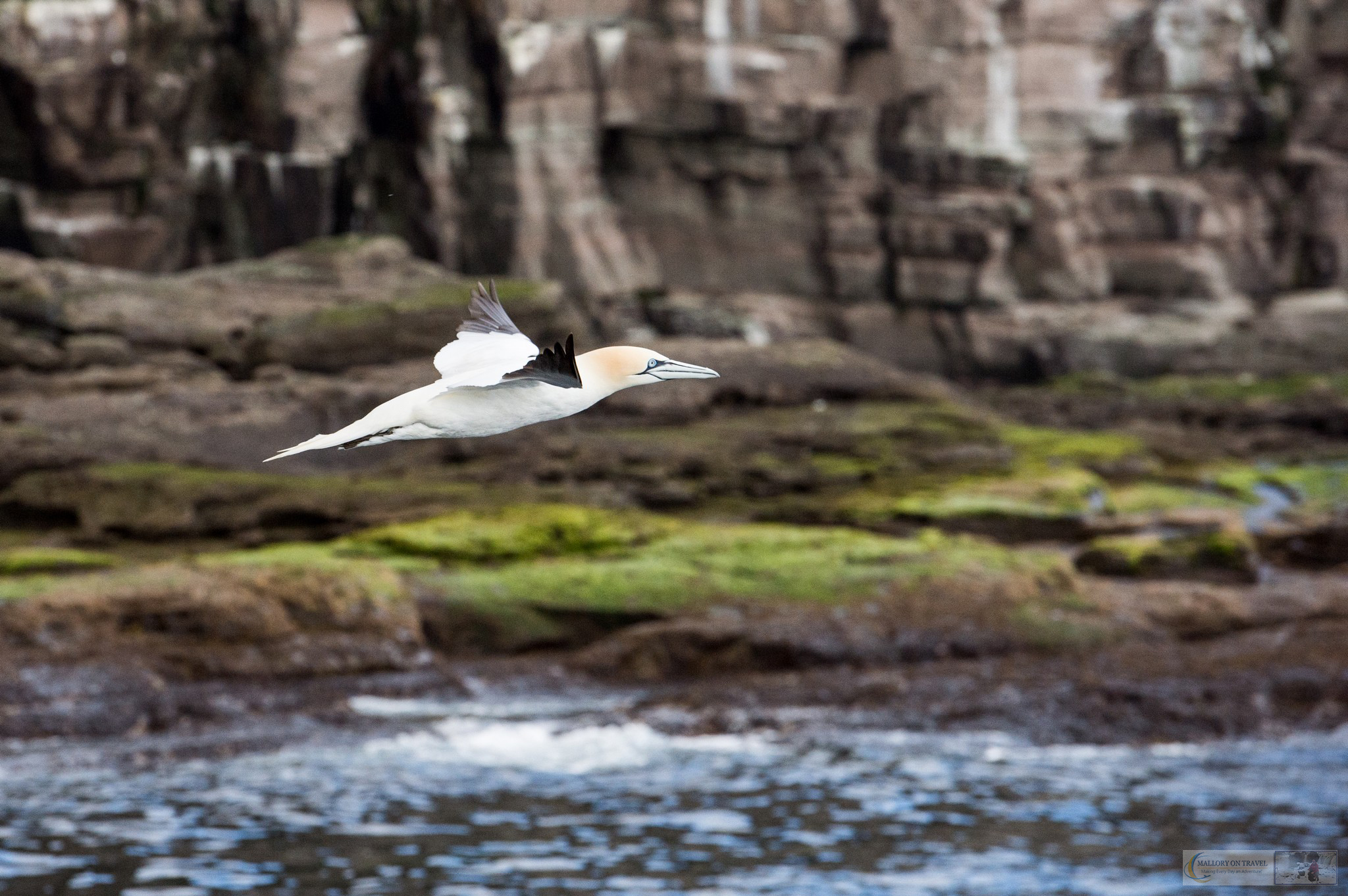 A flying gannet on the Shetland Islands in the highlands and islands of Scotland on Mallory on Travel adventure travel, photography, travel iain-mallory_scotland9752