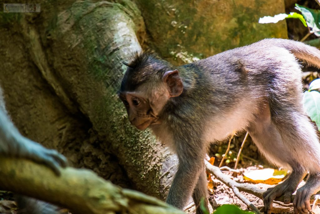 A baby macaque at the sacred forest monkey sanctuary in Ubud, Bali in the Republic of Indonesia on Mallory on Travel adventure travel, photography, travel Iain Mallory Indo9382