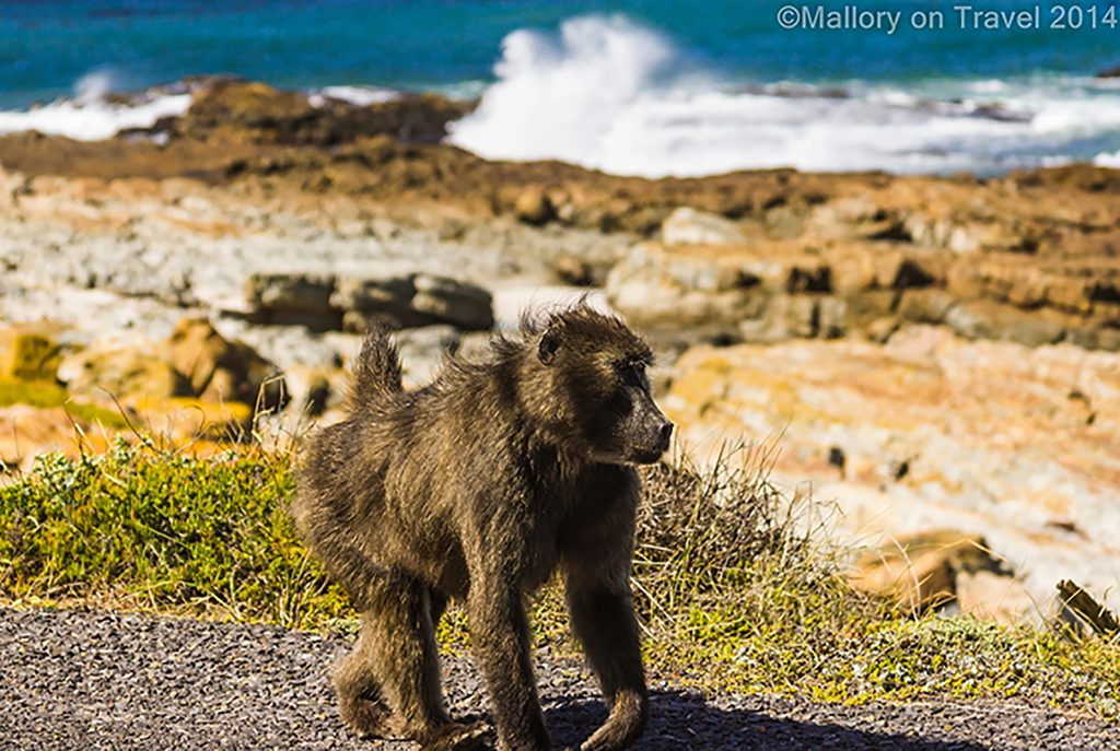 The family of monkeys; A baboon at the Cape of Good Hope, near Cape Town, South Africa on Mallory on Travel adventure travel, photography, travel Iain Mallory-300-315