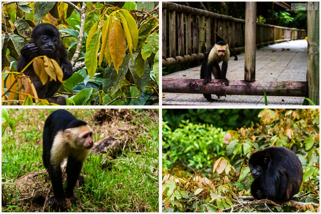 Montage of monkey business in Costa Rica, Howler and Cupuchin monkeys on Mallory on Travel adventure travel, photography, travel Iain Mallory Montage