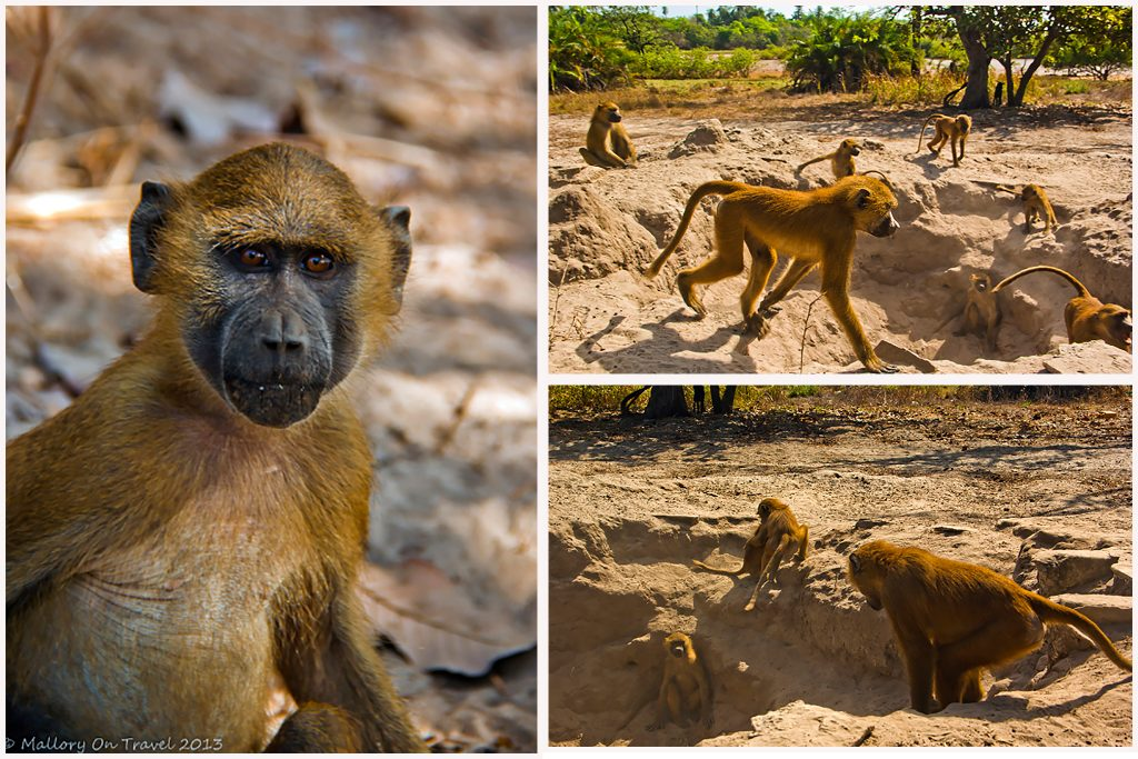 A troop of baboons in the mangroves of The Gambia, east Africa on Mallory on Travel adventure travel, photography, travel Iain Mallory-baboons