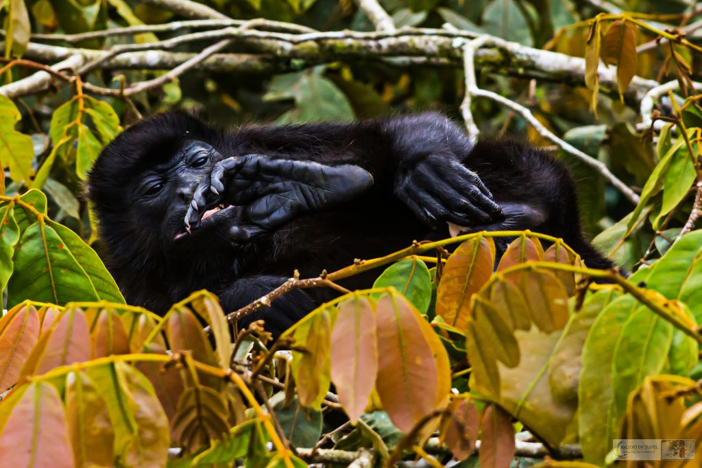 A howler monkey in the cloud forests of Costa Rica, Central America on Mallory on Travel adventure travel, photography, travel Iain Mallory_CostaRica 001-53