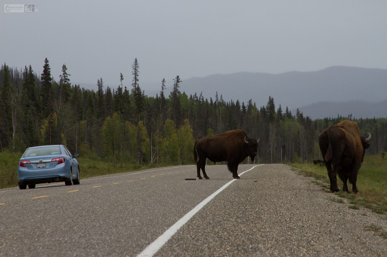 Bison on the Alaska Highway, the road from Watson Lake in British Columbia, Canada on Mallory on Travel adventure travel, photography, travel Iain Mallory_Yukon 039