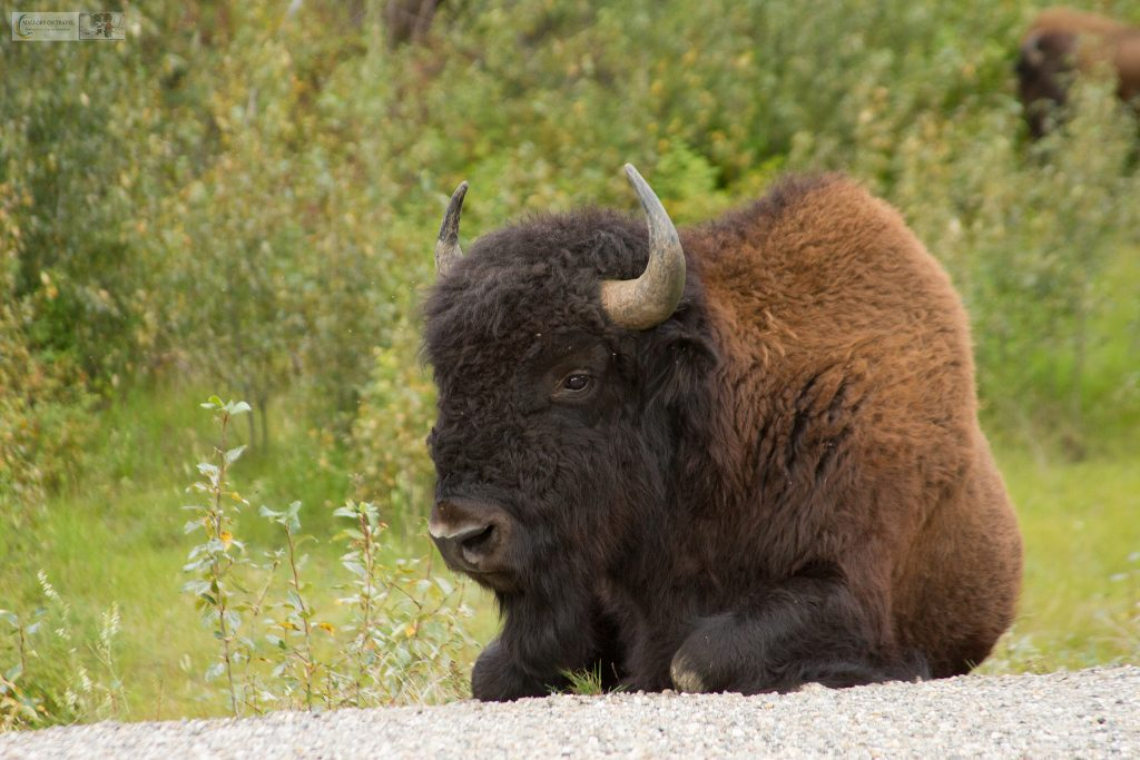 A bull bison on the Alaska Highway in British Columbia near Watson Lake, The Yukon, Canada on Mallory on Travel adventure travel, photography, travel Iain Mallory_Yukon 048