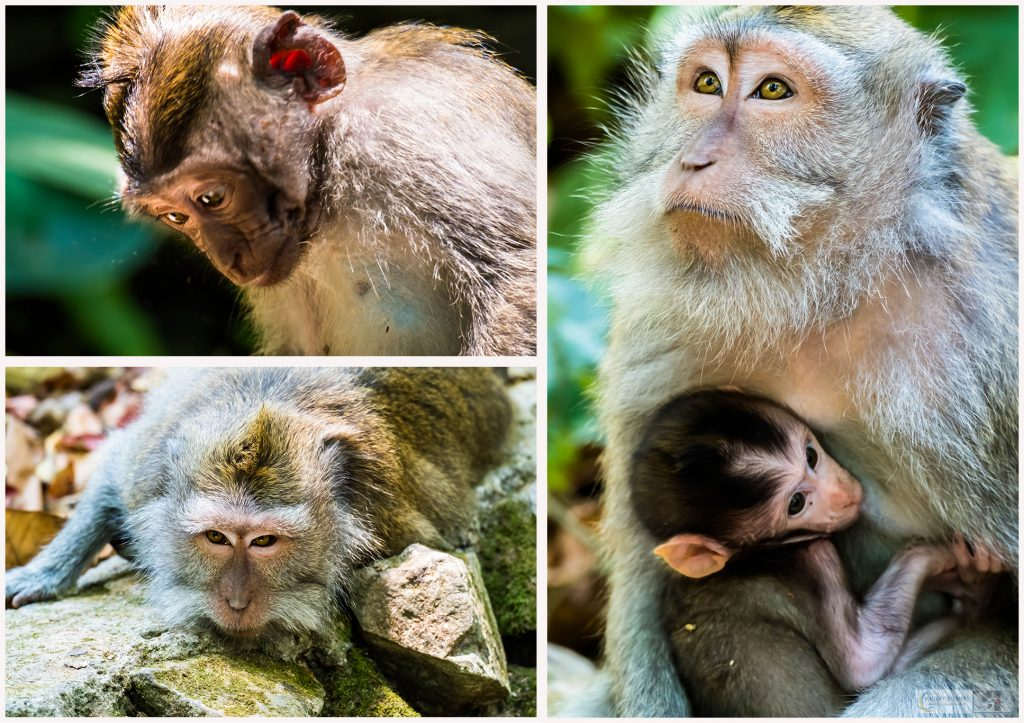 Monkeys at the Sacred Monkey Forest Sanctuary in Ubud, Bali in the Republic of Indonesia on Mallory on Travel adventure travel, photography, travel Iain Mallory_monkey montage