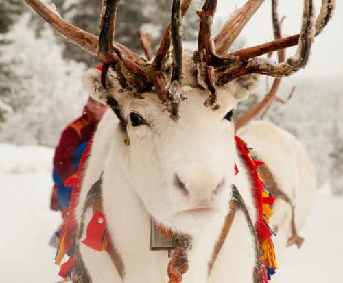 A reindeer of the Sami people in Swedish Lapland on Mallory on Travel adventure travel, photography, travel tumblr_inline_oka780cAri1r2m39g_500