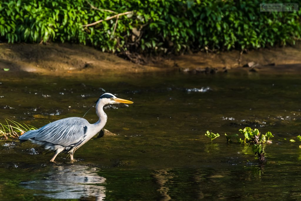A stalking grey heron on the River Goyt, Brabyns Park in Marple, Cheshire on Mallory on Travel adventure travel, photography, travel Iain Mallory_Goyt-1