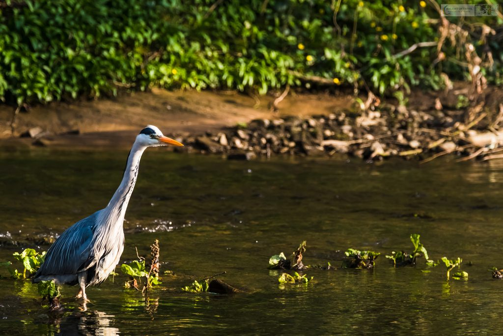 A Cheshire grey heron in Brabyns Park on the River Goyt in Marple on Mallory on Travel adventure travel, photography, travel Iain Mallory_Goyt-1-3