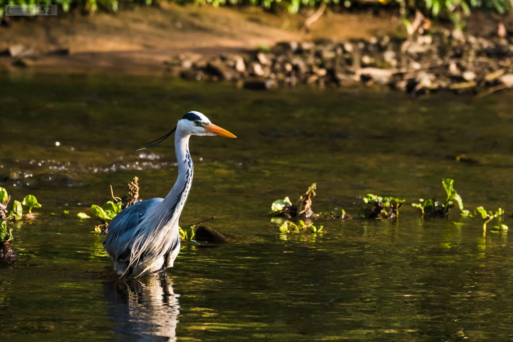 A grey heron fishing on the River Goyt in Brabyns Park, near Marple Bridge, Cheshire on Mallory on Travel adventure travel, photography, travel Iain Mallory_Goyt-1-4