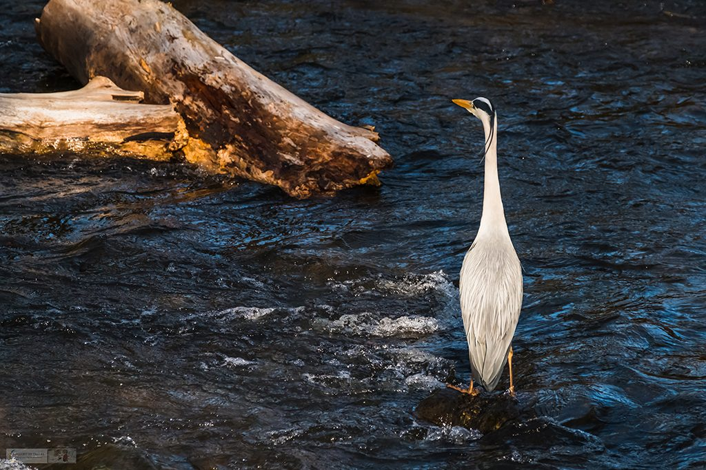 A grey heron in the River Goyt which runs through Brabyns Park, near Marple Bridge in Cheshire on Mallory on Travel adventure travel, photography, travel Iain Mallory_Goyt-1-7