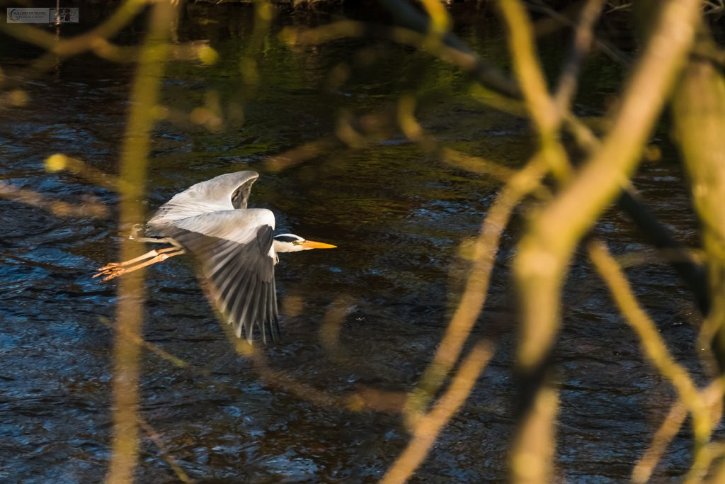 A grey heron flying along the River Goyt in Brabyns Park, Marple in Cheshire on Mallory on Travel adventure travel, photography, travel Iain Mallory_Goyt-1-9