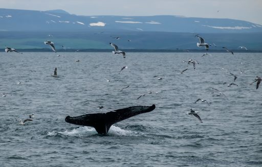 Earth Day; The tail fluke of a humpback whale on a whale watching trip out of Husavik in north Iceland on Mallory on Travel adventure travel, photography, travel Iain_Mallory_Iceland-5379