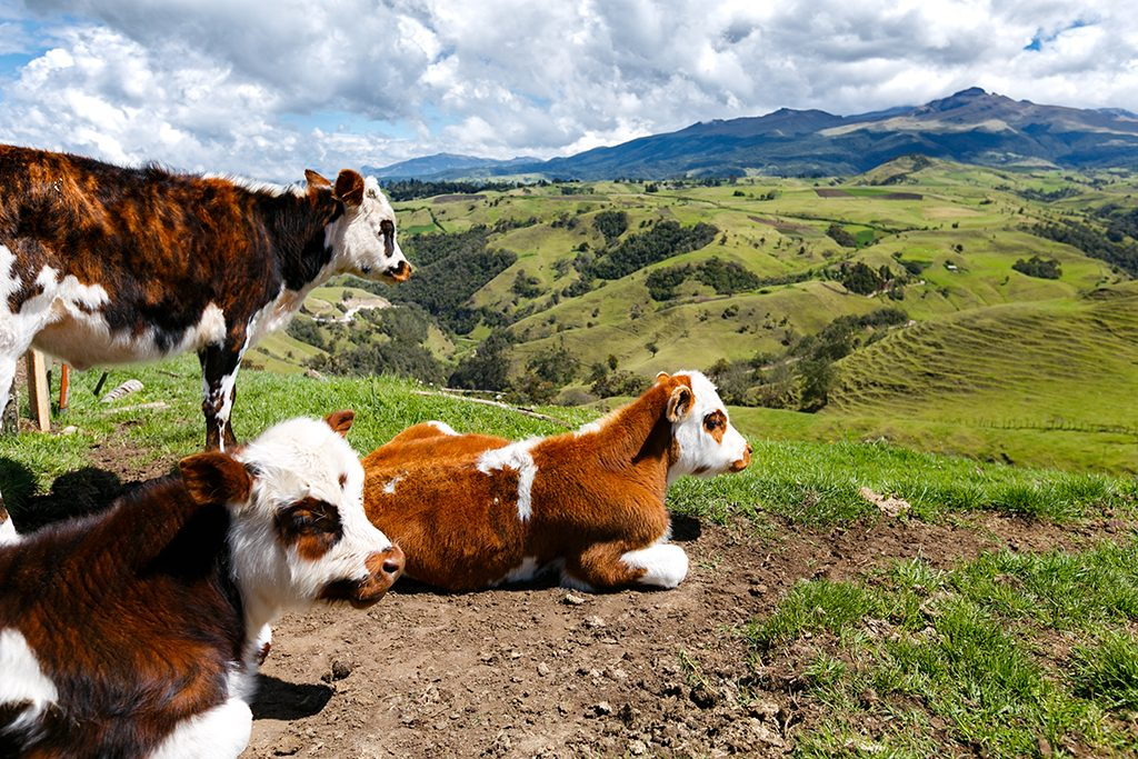 Cow farming in Palermo, Columbia, South America on Mallory on Travel adventure travel, photography, travel