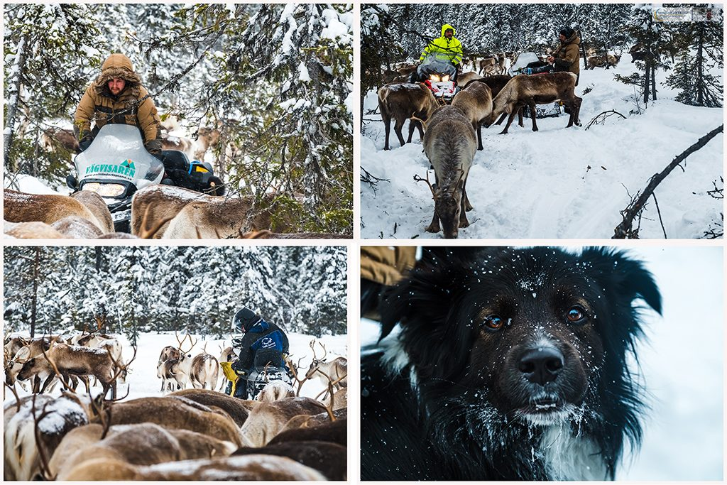Sami herdsmen and their dogs herding reindeer in Swedish Lapland, inside the Arctic Circle on Mallory on Travel adventure travel, photography, travel Iain Mallory_MontageLapland-5
