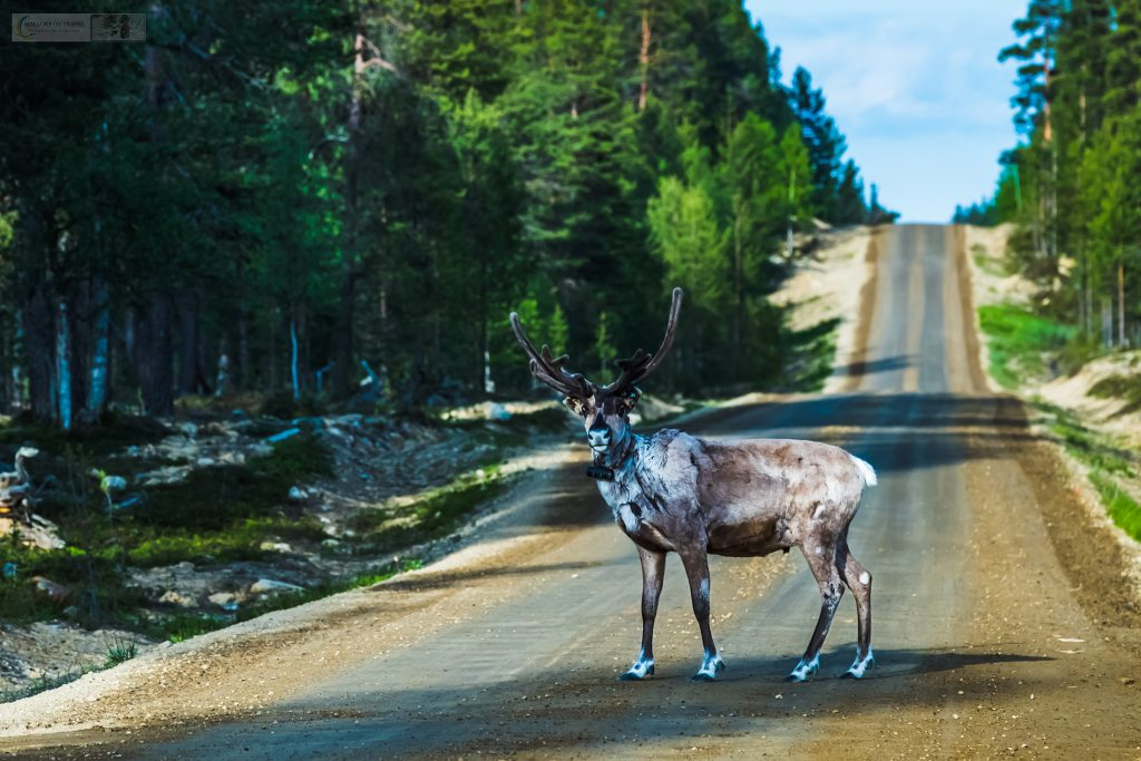 A reindeer stag crosses the road near Saariselka in the region of Inari, Finnish Lapland, inside the Arctic Circle of Scandinavia on Mallory on Travel adventure travel, photography, travel Iain Mallory_finland-1-13