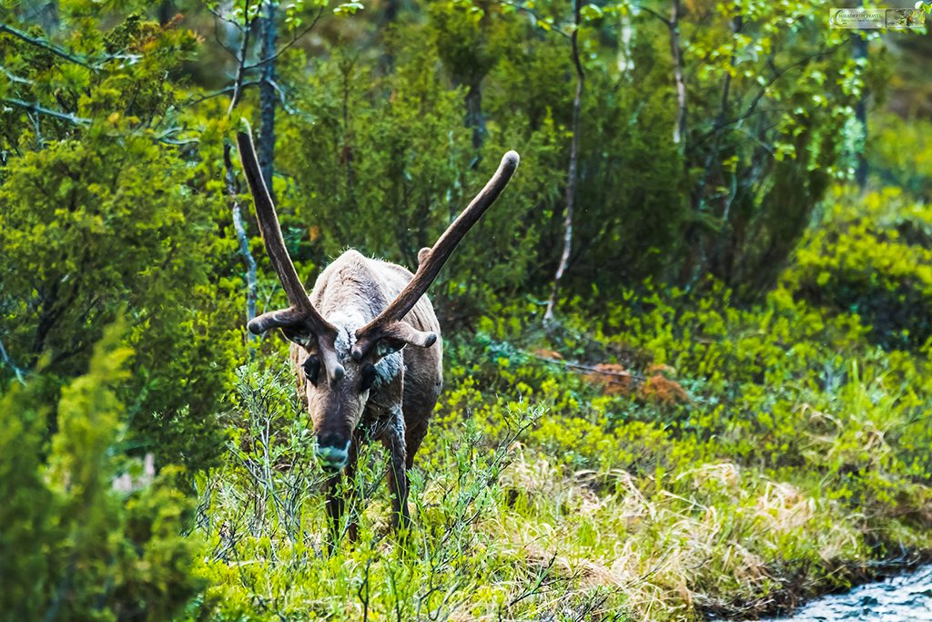 A Finnish reindeer stag in the forests near Saariselka, in the region of Inari, Finnish Lapland, in the Arctic Circle, Scandinavia on Mallory on Travel adventure travel, photography, travel Iain Mallory_finland-1-17