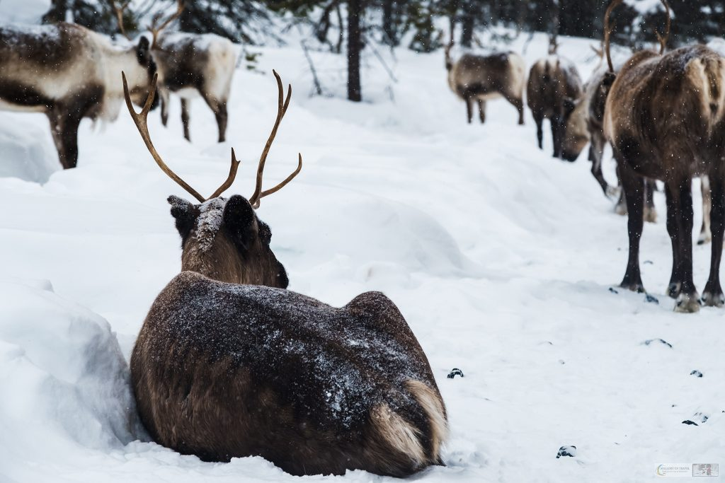 A reindeer in Swedish Lapland, the Sapmi, cultural landscape of the Arctic Circle, the wilderness area of Sweden on Mallory on Travel adventure travel, photography, travel Iain Mallory_lapland-1-249