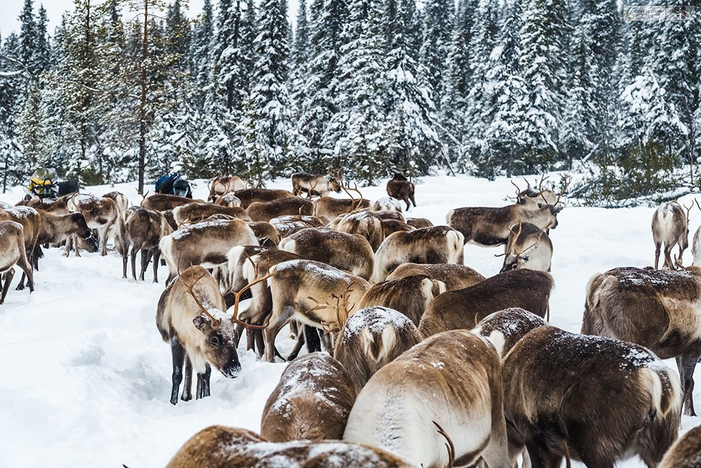A herd of Swedish reindeer, herded by the Sami in Lapland, Sweden in the Arctic Circle on Mallory on Travel adventure travel, photography, travel Iain Mallory_lapland-1-315