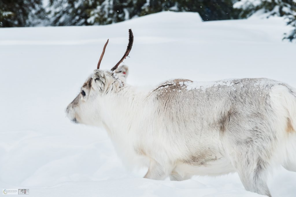 A white reindeer stag in Laponia, the cultural landscape of Swedish Lapland, in the north of the Arctic Circle on Mallory on Travel adventure travel, photography, travel Iain Mallory_lapland-1-326