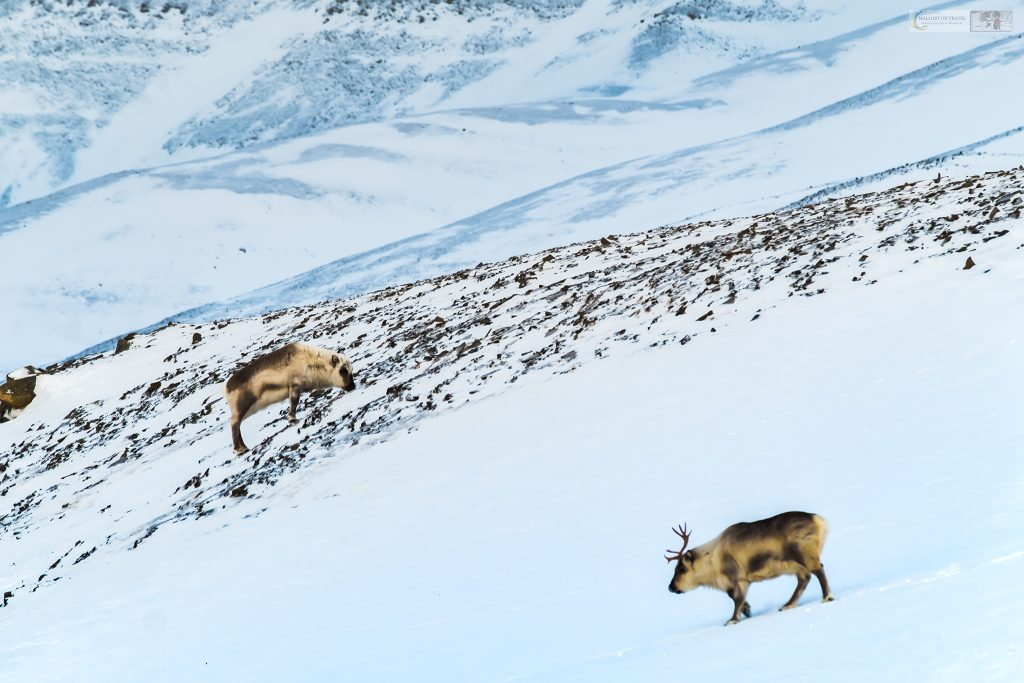 Norwegian reindeer near Spitzbergen on the archipelago of Svalbard inside the Arctic Circle, near the North Pole on Mallory on Travel adventure travel, photography, travel Iain Mallory_svalbard-1-125