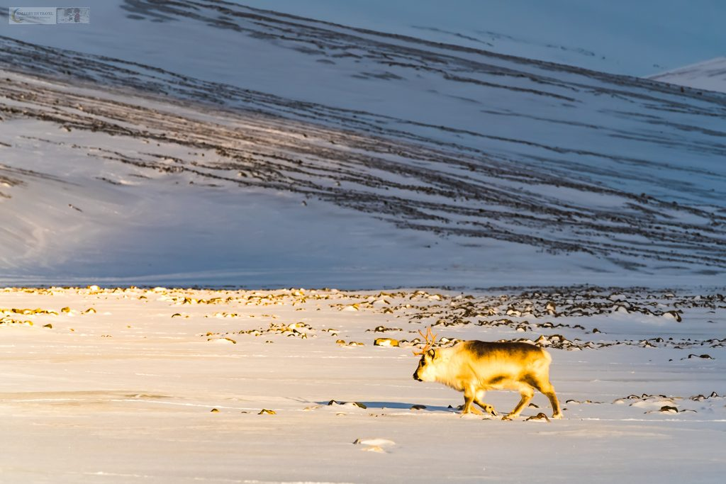 A stocky Svalbard reindeer roaming free in the pristine snowy landscape of the Norwegian archipelago high in the Arctic Circle on Mallory on Travel adventure travel, photography, travel Iain Mallory_svalbard-1-126