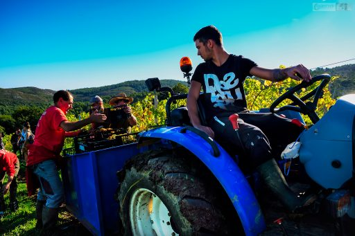 Grape picking at the Bodega Miradorio de Ruiloba winery, Ruiloba in the Cantabrian region of Green Spain on Mallory on Travel adventure travel, photography, travel Iain Mallory_Spain 009