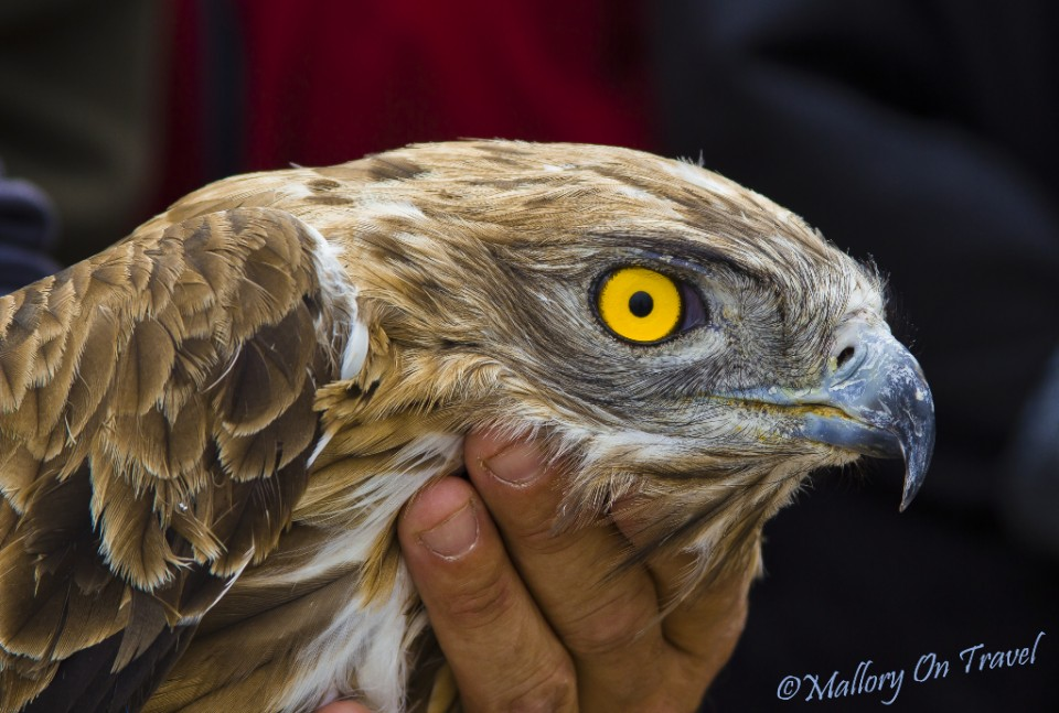 An awesome raptor set for release on the Aveyron Gorge above St Antonin in France on Mallory on Travel, adventure, adventure travel, photography