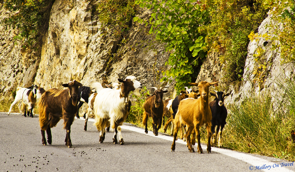 Coffee loving goats running free in Greece on Mallory on Travel, adventure, photography
