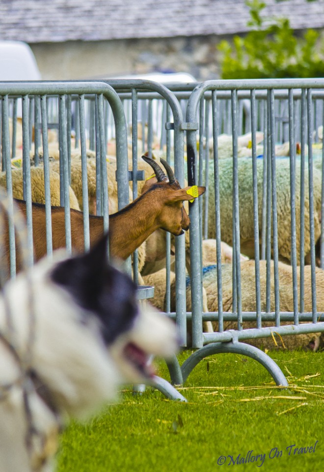 Animal friends at the Foire aux Côtelettes Festival in the village of Arrens-Marsous in the Val d'Azun in the French Haute- Pyrénées on Mallory on Travel, adventure, adventure travel, photography