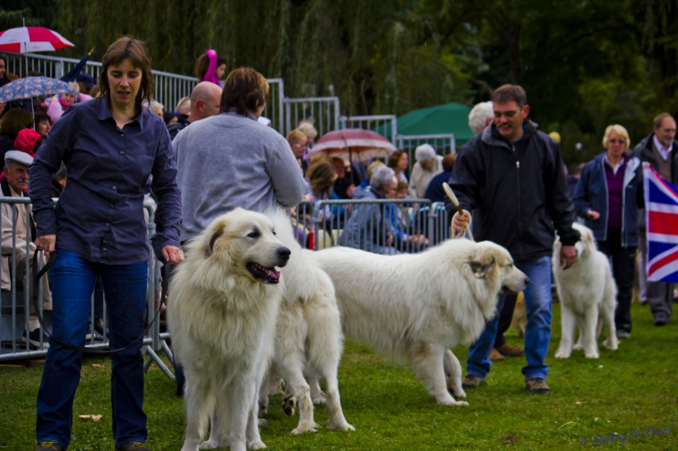 Man's best friends at a Pyrenean mountain dog show in France on Mallory on Travel, adventure, adventure travel, photography