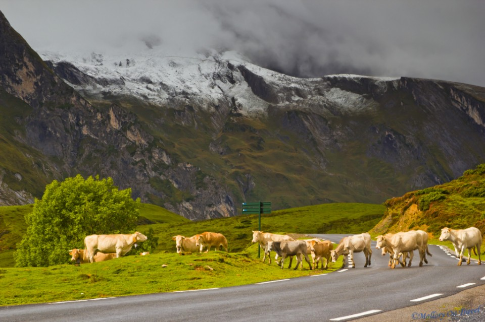 Cattle crossing Val d'Azun in the French Pyrenees on Mallory on Travel, adventure, adventure travel, photography