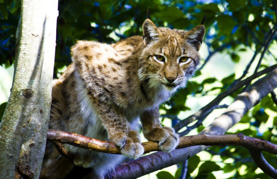 Tree bound lynx at the Parc des Animalier Pyrenees, Argelès-Gazost in France on Mallory on Travel, adventure, adventure travel, photography Iain_Mallory_040955