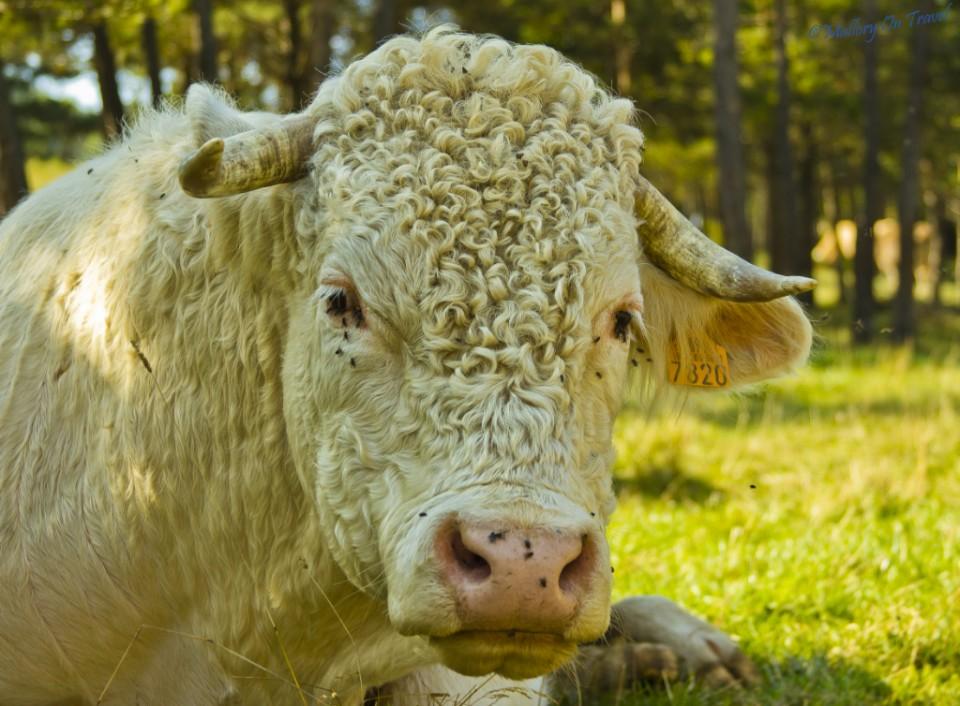 Hazard of mushroom hunting? A bull near Gombrèn in Catalonia. Spain on Mallory on Travel, adventure, adventure travel, photography