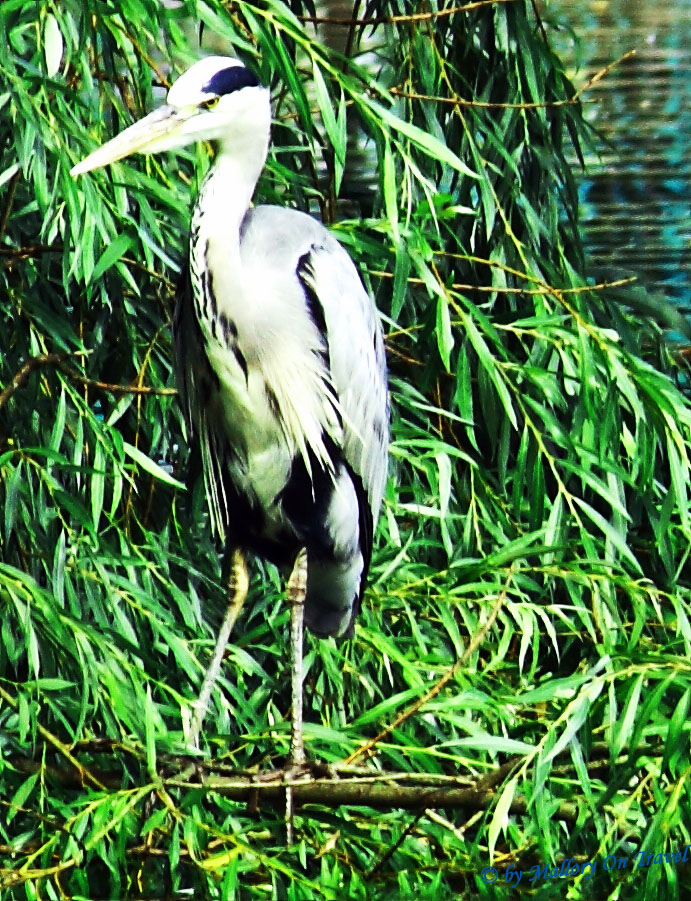 Wildlife exploration; Heron in my local Clowes Park, Salford, Lancashire on Mallory on Travel, adventure, adventure travel, photography