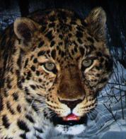 Beautiful leopard portrait on Mallory on Travel adventure, photography