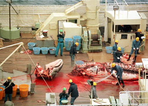 Cultural immersion; A whale being processed on a whaling ship  on Mallory on Travel, adventure, adventure travel, photography