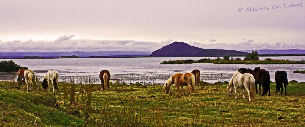 Icelandic horses at Lake Mývatn, Iceland on Mallory on Travel adventure, photography