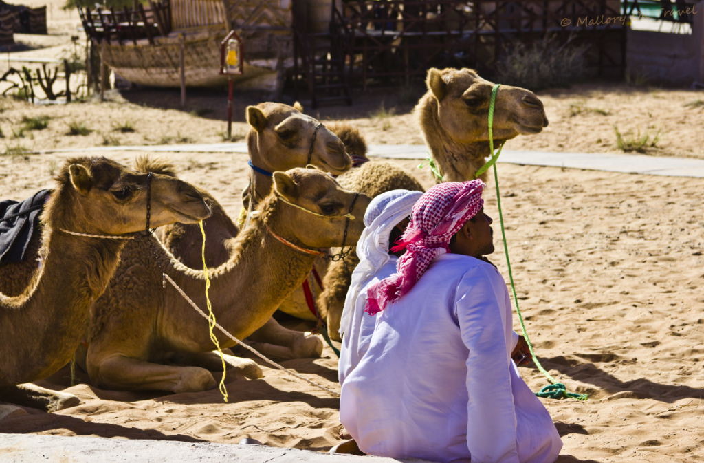 Bedouin wranglers with their camels waiting patiently for tourists in Omans WahibaSands on Mallory on Travel adventure, photography