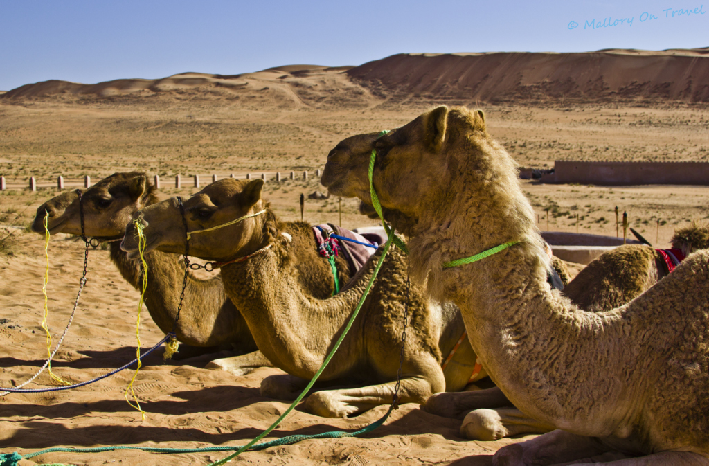 Resting camels in the desert of Omans Wahiba Sands on Mallory on Travel adventure, photography