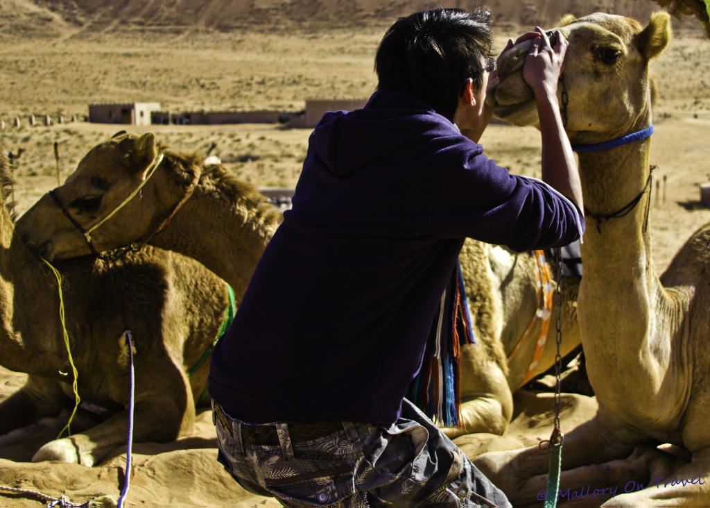 Tourist kissing an Omani camels in Wahiba Sands on Mallory on Travel adventure, photography