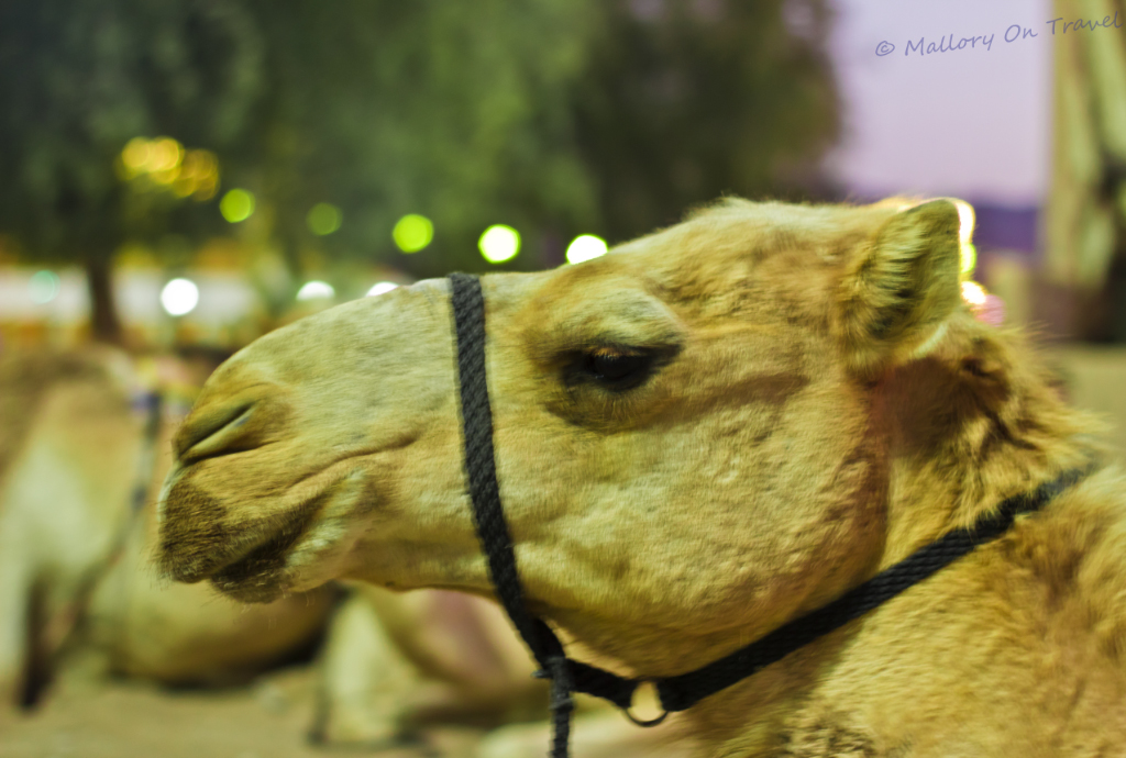 Camel closeup at the Muscat Festival, Oman on Mallory on Travel adventure, photography