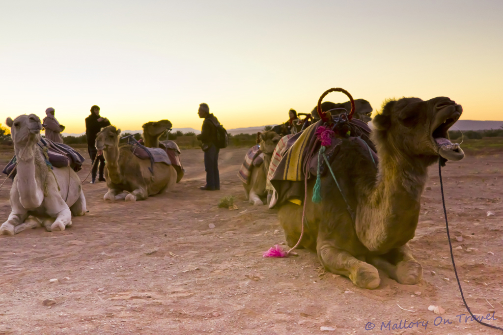 Camels ready for riding in the Moroccan desert on Mallory on Travel adventure, photography